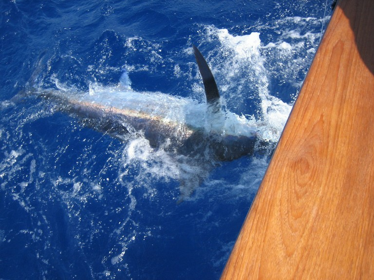 costarica marlin fishing - big