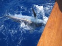 costarica marlin fishing - thumbnail